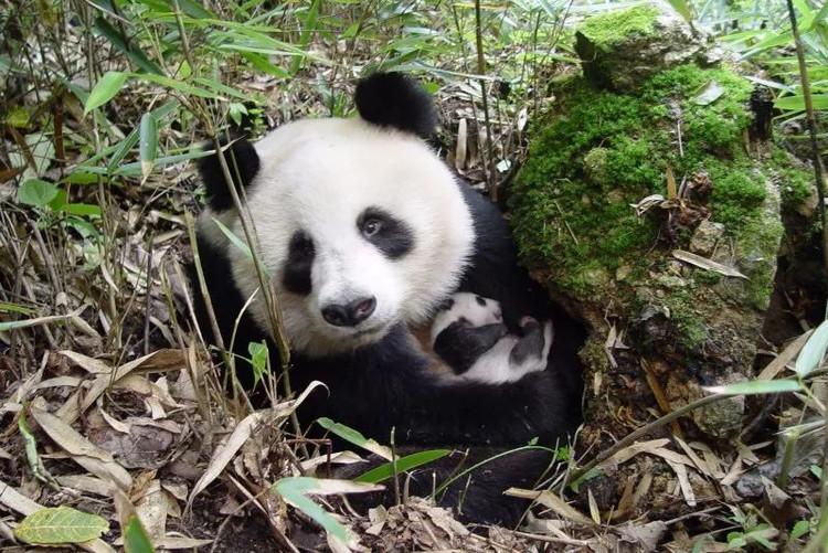 景点简介 佛坪熊猫谷景区位于陕西佛坪县城以北20公里108国道旁.