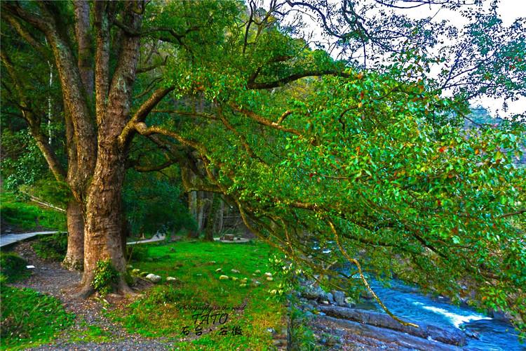 走出严家古村落,下行的出口,这里有一片古树林,参天古树,蔚为壮观.