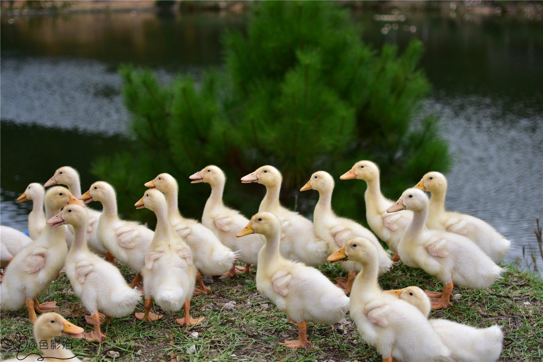 小鸭排排队,陌生的客人来了,别害怕.