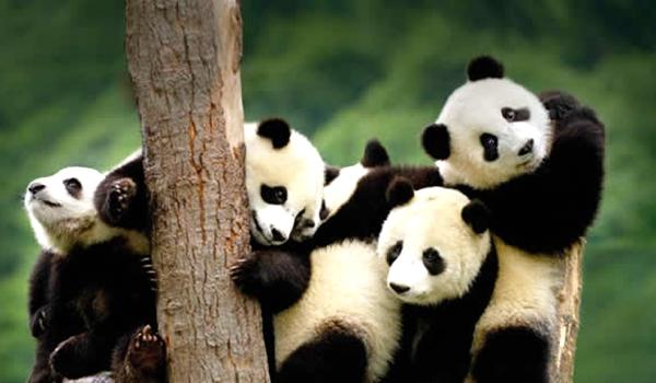 此外,园内还养殖着小熊猫,孔雀,天鹅等珍稀动物,千万不要错过这些可爱