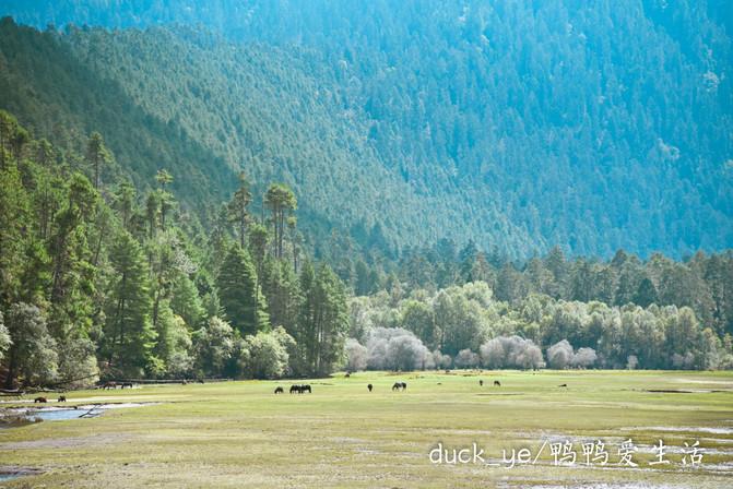 古乡湖&波密岗乡杉林:美到极致的风景线