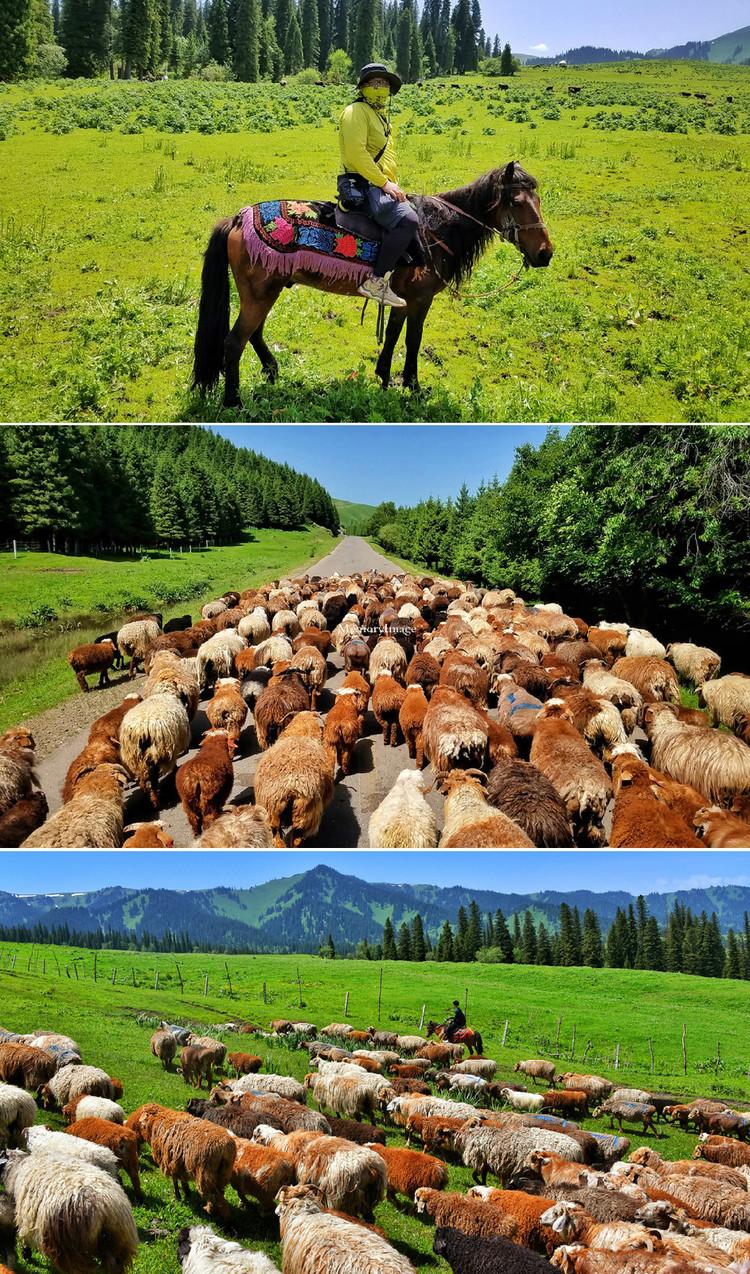 草屁股_翻过了山头,走进了林间,羊儿们还是不慌不忙,低头啃草,屁股摇摇.