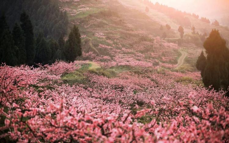 巴拉之春冬与春在云南相遇,最美不过桃花与雪同盛!