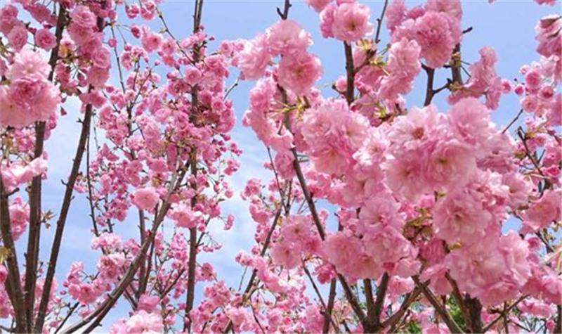 岳阳樱花园