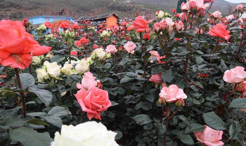 > 丽江九色玫瑰小镇门票及相关产品   丽江九色玫瑰小镇3d立体画.