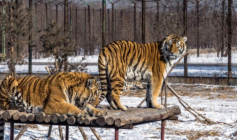 吉林省东北虎园